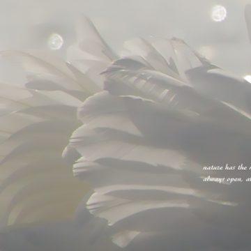 nature card swan